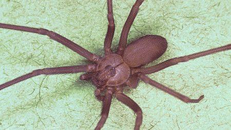 Mujer creyó que le ingresó agua en el oído y el médico le encontró una araña venenosa