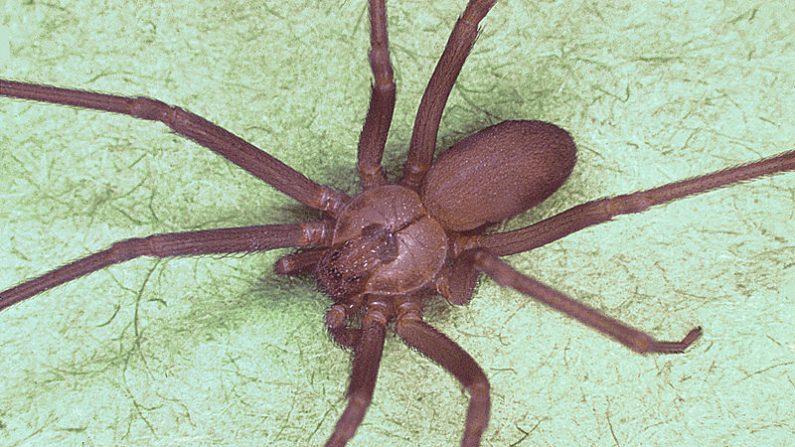 Araña reclusa parda (CDC)