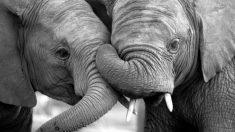 Elefantes de circo separados por 22 años se dan un abrazo de trompas que hace llorar a su cuidador