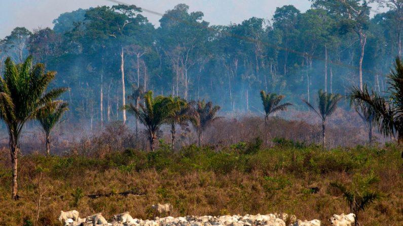 Gado pasta com uma área queimada ao fundo após um incêndio na floresta amazônica perto de Novo Progresso, Pará, Brasil, em 25 de agosto de 2019 (Foto por JOAO LAET / AFP / Getty Images)