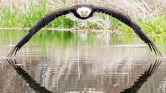 Fotógrafo capta asombroso encuentro con un águila calva en una imagen