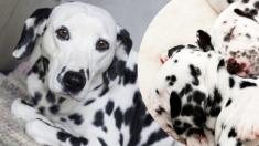 Dálmata embarazada demostró que su veterinario se equivocaba, ¡tuvo más de 15 cachorros!
