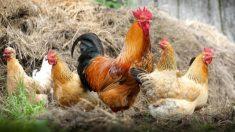 Santuário animal vegano na Espanha não junta galos com galinhas para que eles não as estuprem