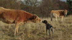 Perro se deprime al ser separado de la vaca que lo crió y un video muestra su reencuentro