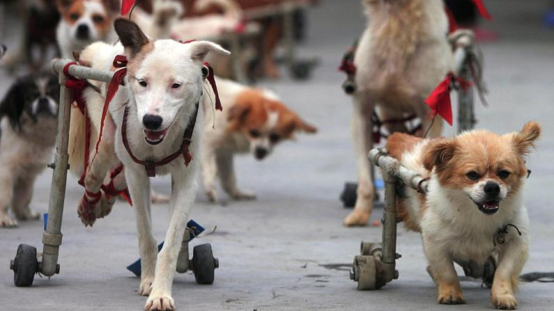 Perros con patas traseras de ruedas. Imagen ilustratva. (China Photos/Getty Images)