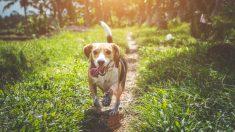 """Sabueso que nace con media columna vertebral y sin cuello es """"el perro más feliz"""" cuando es adoptado"""