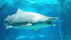 Tiburones espantan a bañistas cuando empiezan a saltar en la costa alimentándose de un cardúmen