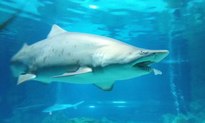 Imagen de archivo de un tiburón de arena. (COEX Aquarium via Getty Images)