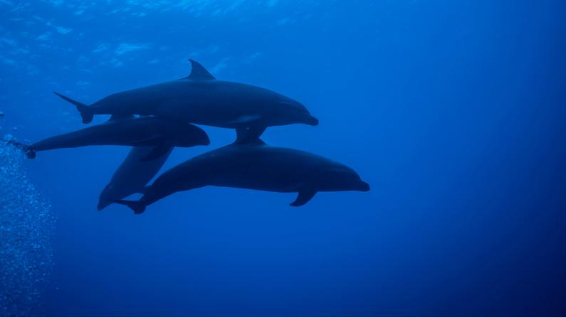 Milagros de la naturaleza, un pequeño bebé de ballena cabeza de melón ha sido adoptado por un Delfín Nariz de Botella. Son testigos de un en el Paso Tiputa, Rangiroa. ( Janos Rautonen/Shutterstock)