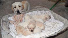 Perrita da a luz 20 cachorros y deja exhausto al veterinario en el parto más largo de su vida