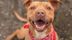 Pitbull no deja de sonreír después de ser adoptado y alegra a miles de seguidores con su carita feliz