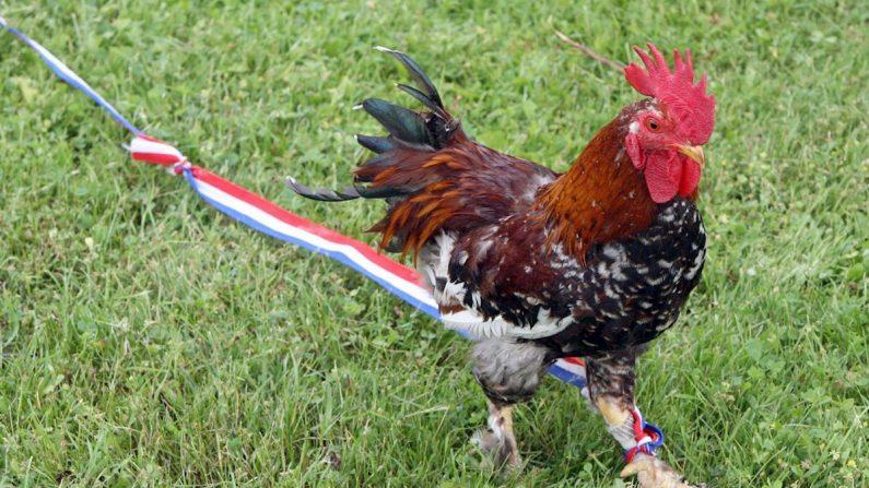 Un gallo luce una cinta con los colores de la selección de Francia. EFE/Patrick Lux/Archivo