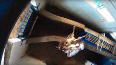 Denuncian con un estremecedor vídeo el maltrato animal y la insalubridad en un matadero de Madrid