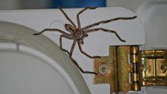 Impactante vídeo muestra a una araña cazadora gigante con un ratón muerto en el refrigerador
