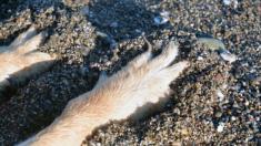 Perrita mutilada y enterrada viva en la playa, rescatada justo a tiempo, se recupera de milagro