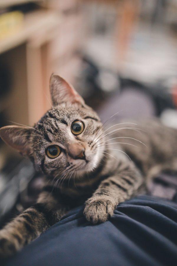 gatito acostado, repelente de orinales