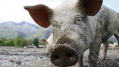 Caos en un pueblo de EE. UU. donde docenas de cerdos escaparon y corren desenfrenadamente por los caminos