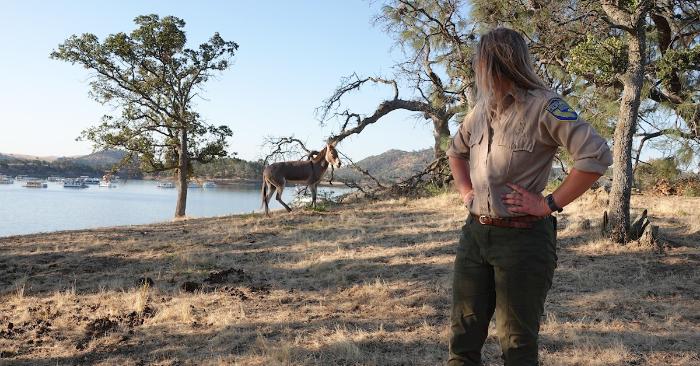 Fotografía cedida por el Departamento de Pesca y Vida Silvestre de California (CDFW) donde aparece una de sus agentes mientras observa a la burra salvaje Hillary en un pedazo de terreno en el lago McClure, un embalse en las estribaciones de Sierra Nevada y en el oeste del condado Mariposa, en el centro de California. EFE/CDFW