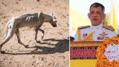 """Rey de Tailandia """"adopta"""" a 15 perros Gran danés que fueron abandonados en una granja de reproducción"""