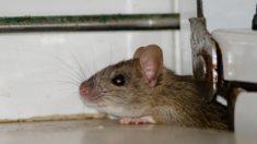 10 trucos libres de crueldad para expulsar a ratas y ratones de tu hogar