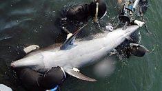 Delfines acorralados a punto de ser sacrificados se frotan unos a otros como gesto de despedida