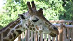 Su última voluntad era ver a las jirafas que cuidó por más de 25 años y ellas le dan emotiva despedida
