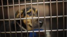 """Pareja es arrestada luego de que encontraran 150 perros muertos y otros más en """"condiciones inimaginables"""""""