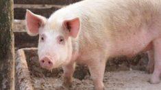 Brasil pode suprir demanda de carne suína na China, diz especialista