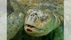 Duro video muestra a una tortuga en peligro de extinción alimentándose de residuos bajo el mar