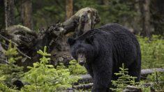 """""""No tienes que hacer esto"""", suplicó un hombre a un oso negro que casi lo mata"""