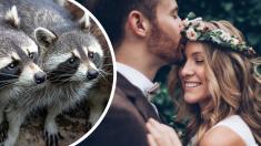 Mapaches se cuelan en una boda y se roban la sesión de fotos de los novios