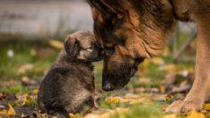 Cachorro travieso de pastor alemán se niega a tomar una siesta hasta que su mamá entra en acción
