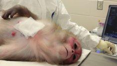 Monitos sometidos a implantes genéticos mueren durante los experimentos de científicos chinos