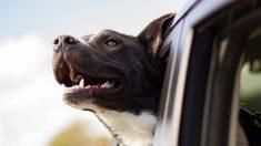 Perro policía muere porque lo dejan encerrado en un auto caliente sin ventilación