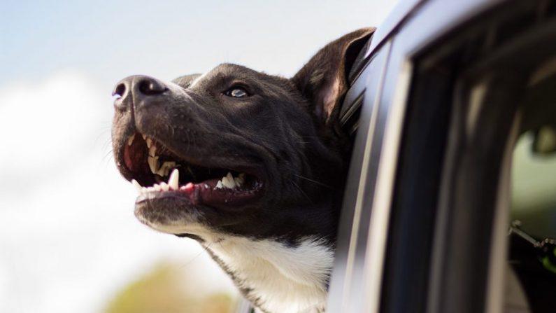 Imagen ilustrativa de un perro sacando la cabeza por la ventanilla de un automóvil. (Free-Photos/Pixabay )