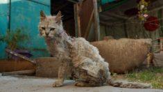 Gato viejo callejero, con dientes podridos y sucio pelaje tiene un sorprendente cambio de look