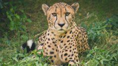 Capturan mágico momento en el que una mamá guepardo da a luz por primera vez en un zoológico