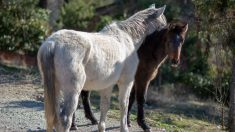 Rescatan del horror a 400 caballos en un campo de Buenos Aires, estaban desnutridos y agonizando
