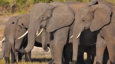 300 elefantes le dan el último adiós a su líder con una majestuosa despedida
