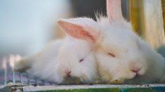 Defensores dos animais invadem fazenda para salvar coelhos e acabam matando quase uma centena