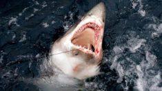 [VIDEO] Enorme tubarão branco se alimenta de baleia morta e depois se choca contra barco de pesca