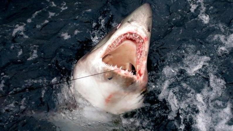 Tubarão branco (Lamna nasus), em inglês conhecido como porbeagle shark (www.geograph.org.uk sob licença Creative Commons)