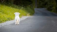 Video de perrito corriendo detrás del auto que lo abandonó en plena calle conmociona a las redes
