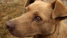 Perro flaco y maltratado se transforma gracias a que su nueva dueña le consigue una cadera biónica