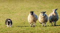 Perro ovejero es grabado en video haciendo amistad con las ovejas y dando un paseo sobre su lomo