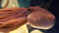 """Insólitas imágenes de un """"pulpo brillante"""" en el fondo oceánico fascinan en redes"""