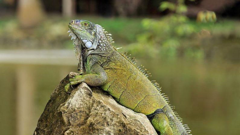 Imagen ilustrativa de una iguana. (Wikimedia Commons)