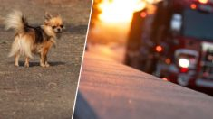 Heroica mascota Chihuahua muere tratando de salvar a sus dueños del incendio de su casa rodante