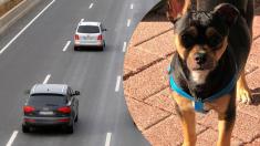Perrito herido atrapado en medio de la autopista es salvado por un policía que corre para rescatarlo