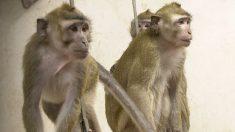 """Impactante video muestra el """"infierno"""" vivido por animales en un laboratorio farmacológico alemán"""